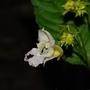 Impatiens glandulifera (Impatiens glandulifera (Himalayan Balsam))