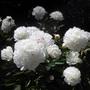 white peonies (Paeonia 'Festiva Maxima')