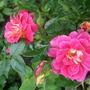 Rosa_little_flirt_2_