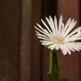Mesembryanthemum (Mesembryanthemum)