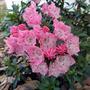 Kalmia latifolia 'Tinkerbelle' (Kalmia latifolia (Calico bush))