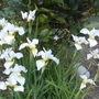 White_irises