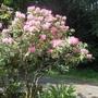 Pink_rhodo