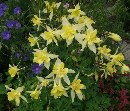 Aquilegia chrysantha Yellow Queen  (Aquilegia chrysantha 'Yellow Queen')