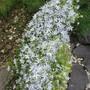 Campanula glomerata White (Campanula glomerata)
