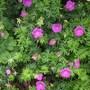 Geranium sanguineum Hampshire Purple