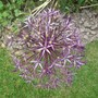Allium 'Christophii' these had a rest last year - great they came back (Allium Christophii)
