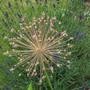 Allium 'Purple Sensation' the seed head is just as striking (Allium  Aflatunense)