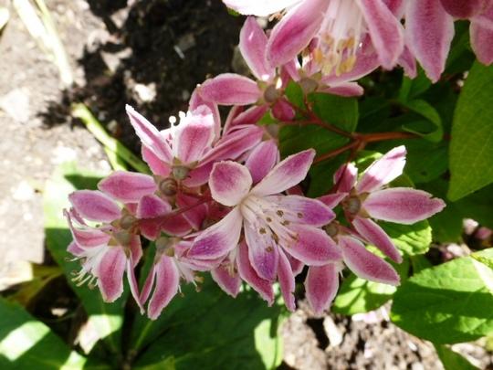 Deutzia x hybrida .. Strawberry Fields
