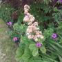 Rodgersia aesculifolius flower spike
