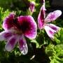 Scented_leaf_geranium_mosquitaway_eva_