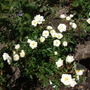 Rosa 'Kent' ground cover with semi double whiite blooms, spread 1m with a max height 45cm. Has a slight scent.