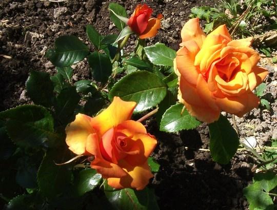 Rosa 'Simply the Best' hybrid tea. deep burnt orange and its very fragrant.