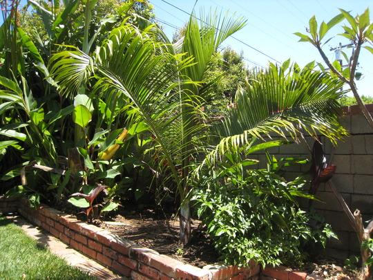 Palm, Dypsis ambositrae
