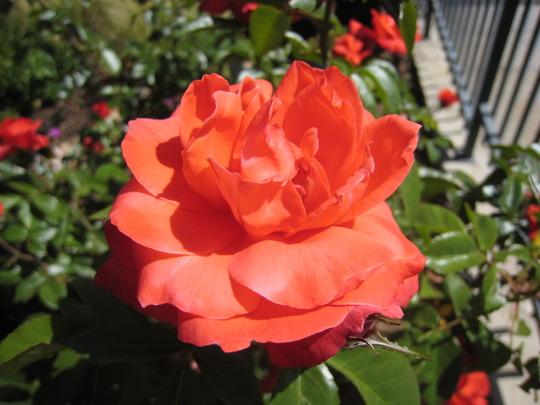 Rose, 'Hot Cocoa'