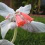 Sinningia leucotricha  'Brazilian Edelweiss'