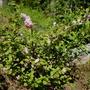 Prunus triloba again