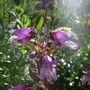 Penstemon_smallii