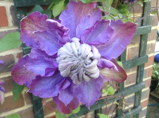 Double Clematis (Help with ID please).