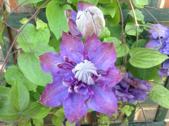 Double Clematis (showing leaf). Help with ID please.