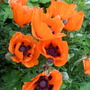 Beaytiful Orange Poppies