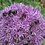 Bees on Allium christophii (Allium christophii)