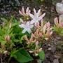 Azalea, White Lights (Rhododendron prinophyllum)