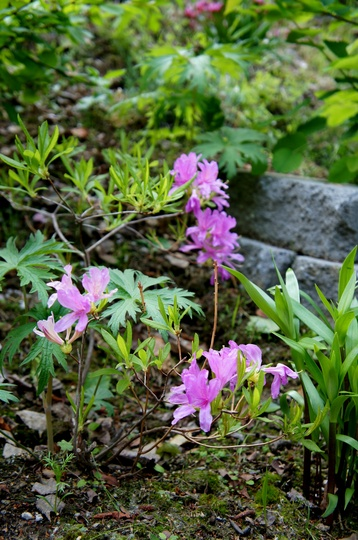 Azalea, Orchid Lights (Rhododendron canadense)