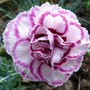 For my records...Dianthus Gran's Favourite (Dianthus plumarius (Border Pink))