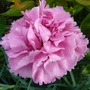 Dianthus 'Valda Wyatt' (Dianthus plumarius (Border Pink))