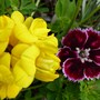 Dianthus 'Supernova' growing through Bird's Foot Trefoil (Dianthus plumarius (Border Pink))