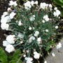 For my records...Dianthus 'Arctic Star' (Dianthus alpinus (Alpine Pink))