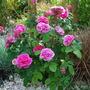 Rosa Gertrude Jekyll.... (Rose Gertrude Jekyll)
