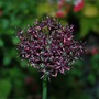 Allium  Atropurpureum this evening..... (Allium atropurpureum (Purple-flowered onion))