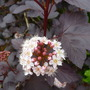 Physocarpus flower