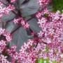 sambuccus flower