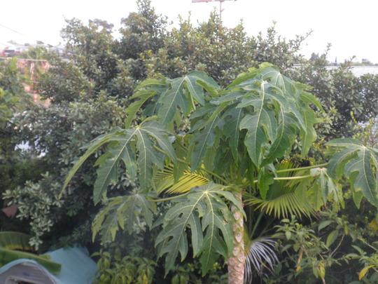 Carica papaya 'Thai Dwarf' with Ficus craterastoma in background (Carica papaya 'Thai Dwarf')