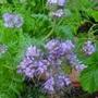 Love Blue (Phacelia tanacetifolia (Aliment des abeilles))