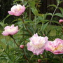 Finally!  The first paeonies of 2014 (Paeonia)
