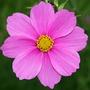Hrysanthemum