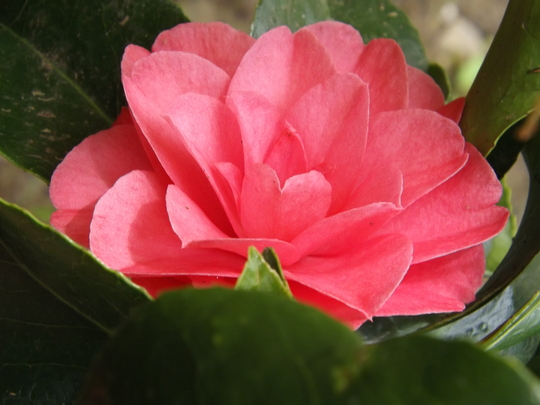Look what I found! (Camellia japonica Elegans)