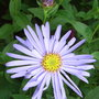 Aster_x_frikartii_monch_