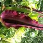 Dracunculus vulgaris (Dracunculus vulgaris (Dragon arum))