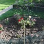 The start of the small rose garden - 2014