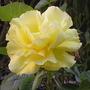 Rose - Korresia