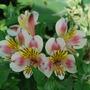 Alstroemeria.... (Alstroemeria ligtu (Peruvian lily))