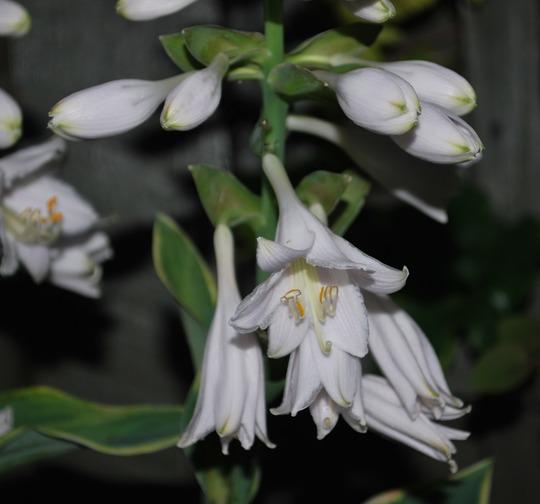 Touch of Class Hosta flowers... (Hosta Touch of Class.)