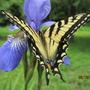 Siberian iris fountain and thirsty friend....