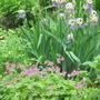 Irises and Geranium