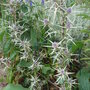 Eryngium variifolium (Eryngium variifolium)